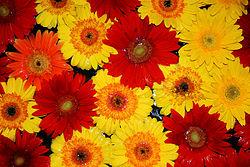 Flores_nagua